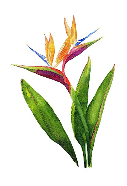 Watercolor Birds Of Paradise Google Search Bird Of Paradise Tattoo Paradise Painting Birds Of Paradise Flower