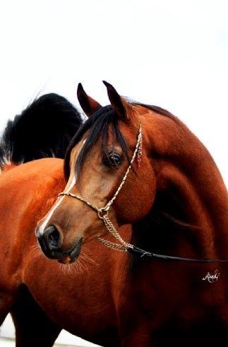 Randi Clark Photography ArabianHorseAssociation (With