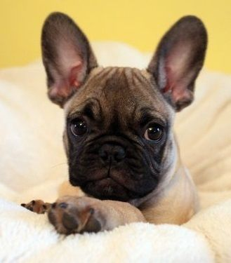 Pug And French Bulldog Frenchie Pug Omcuteness French