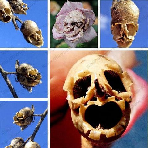 10 Death Rose seeds - rare and mysterious plant species of snapdragon flower skull