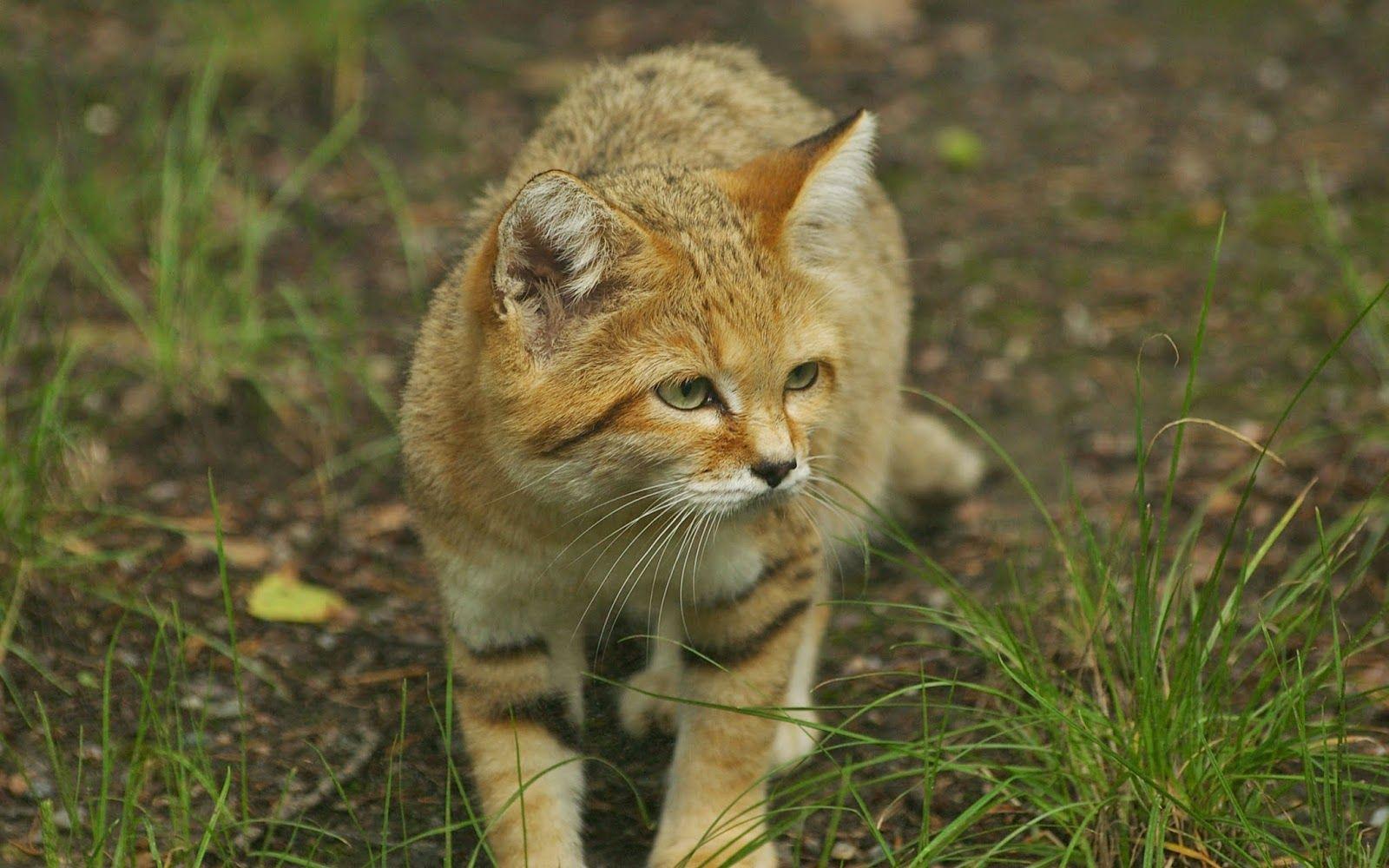 beautifulsandcat スナネコ