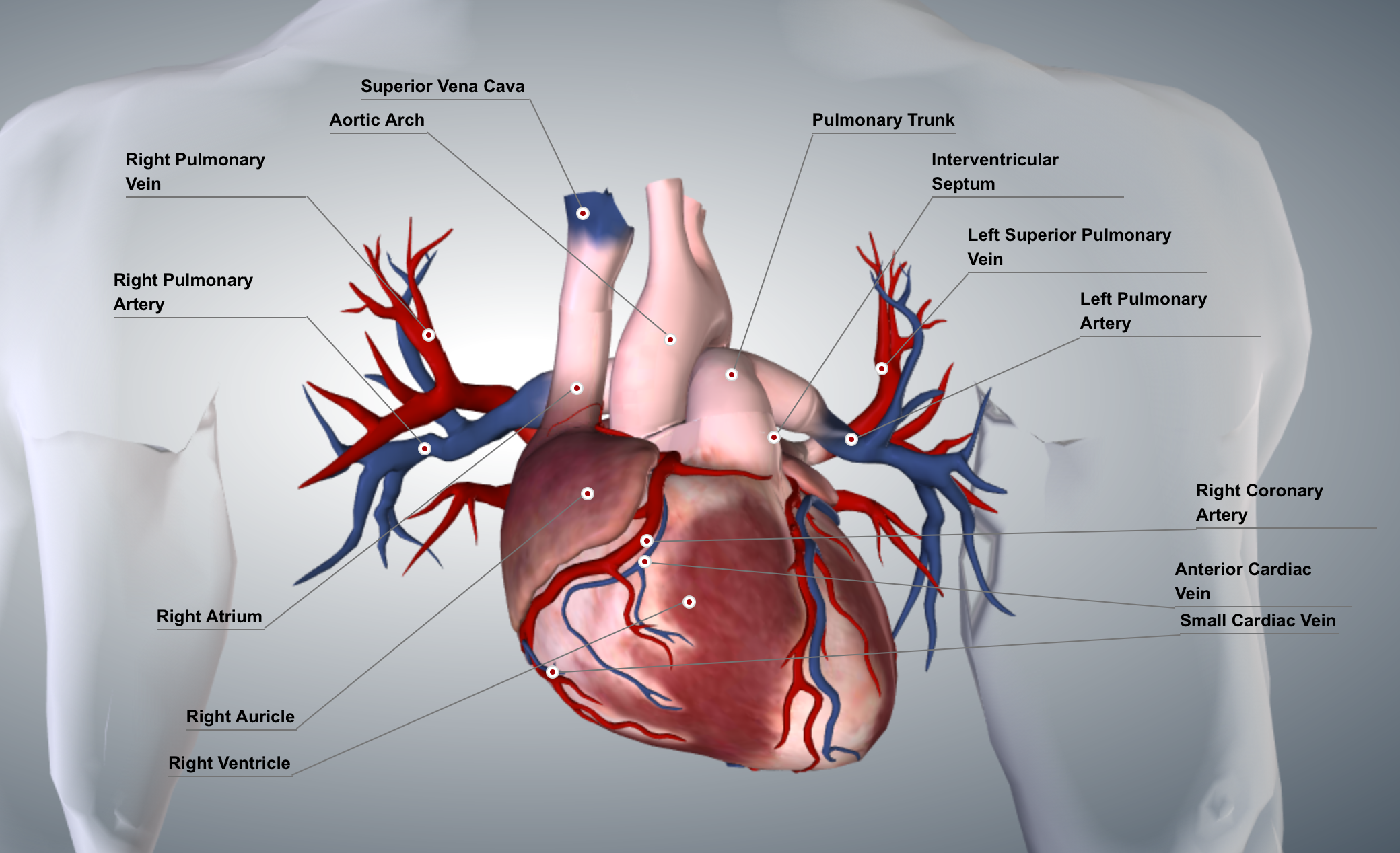 Simple Diagram of the Heart | Heart diagram, Arteries ...