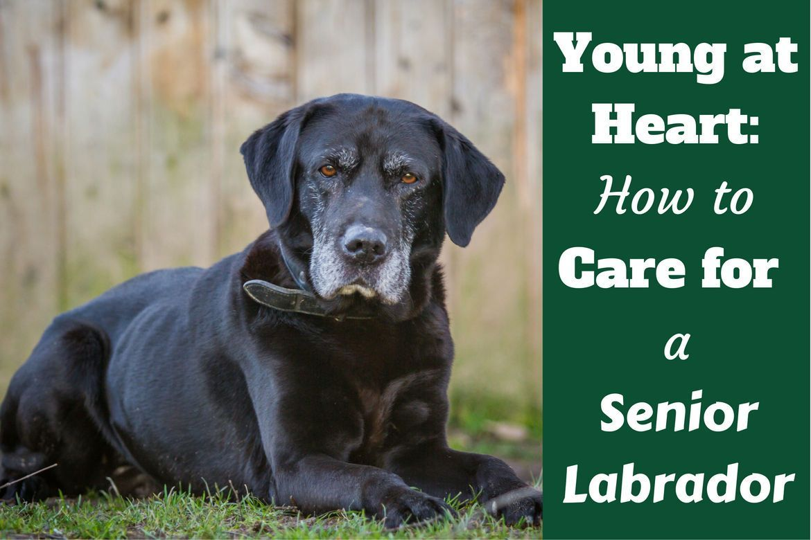 Caring for your senior labrador health and happiness to