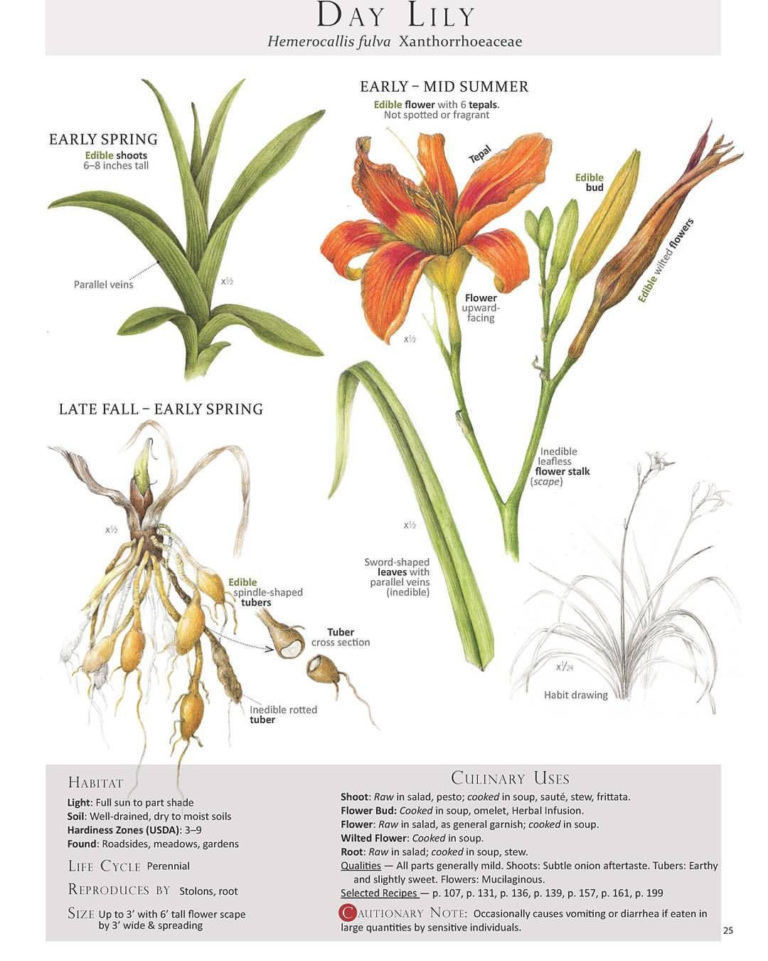 Pin by kyra hurd on medicine garden pinterest gardens daylily for spring and early summer eating izmirmasajfo
