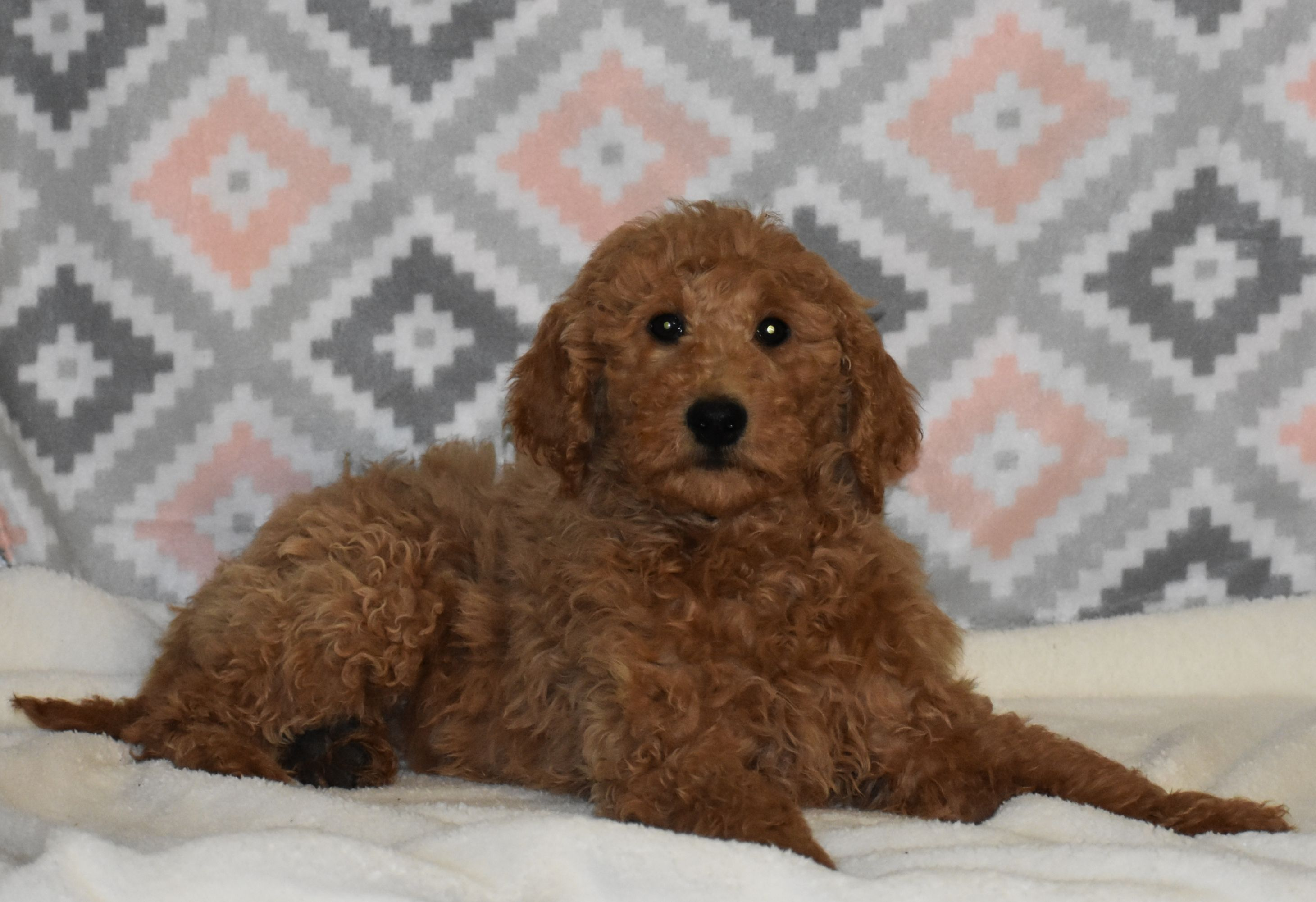 Twyla F1B Girl Goldendoodle puppy for sale in Syracuse