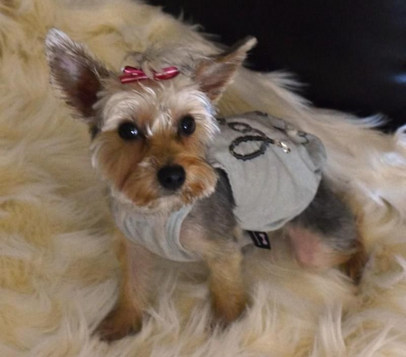 Adopt Mookie On Petfinder Yorkie Adoption Small Dog Rescue Yorkshire Terrier