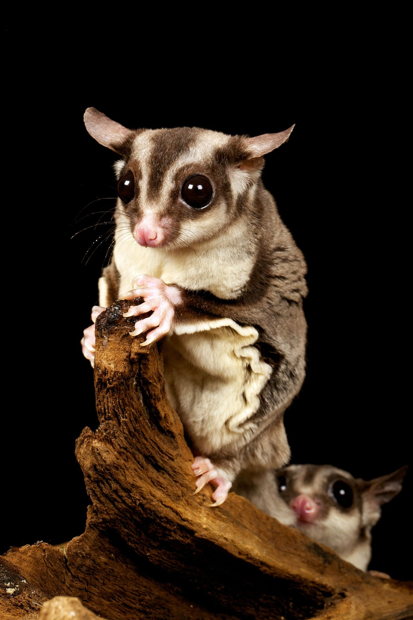 Two Sugar Gliders Animals Animal Pictures Cute Animals