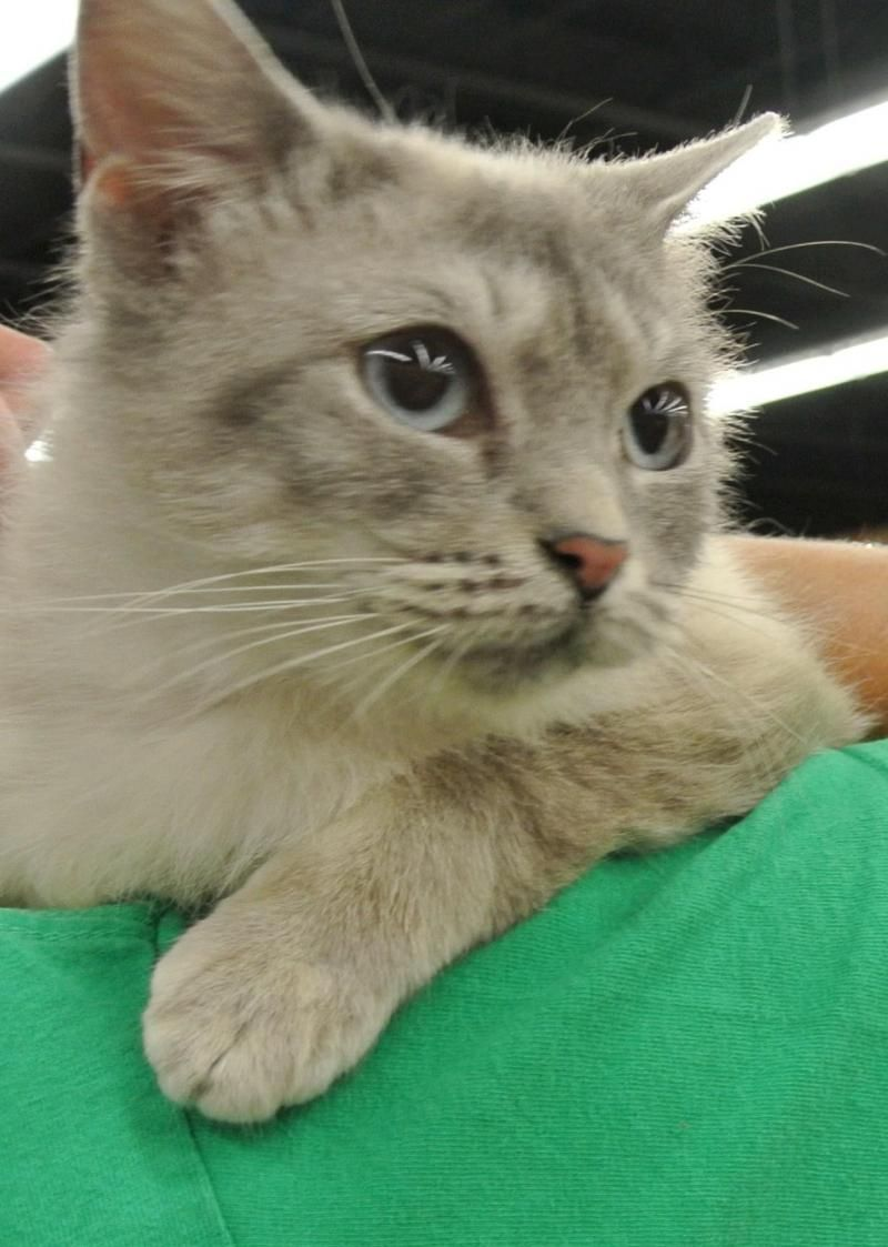 Adopt Mason on Siberian cats for sale, Cats, kittens, Cats