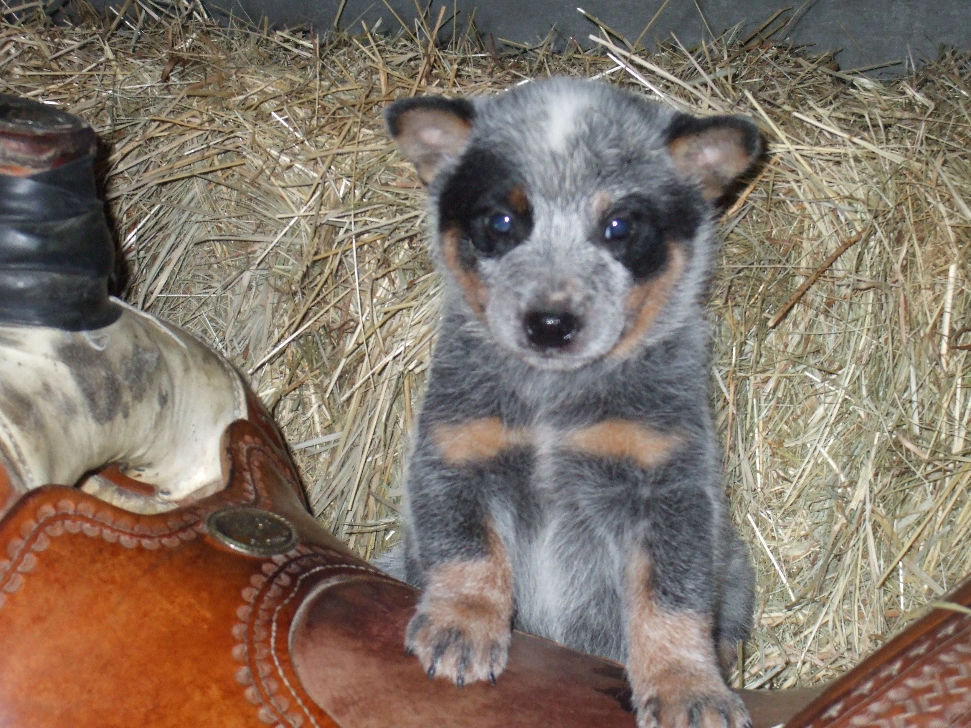 Blue Heeler Puppy Lets Go Chase Some Cattle Cattle Dogs Rule Cattle Dogs Rule Blue Heeler Puppies Heeler Puppies