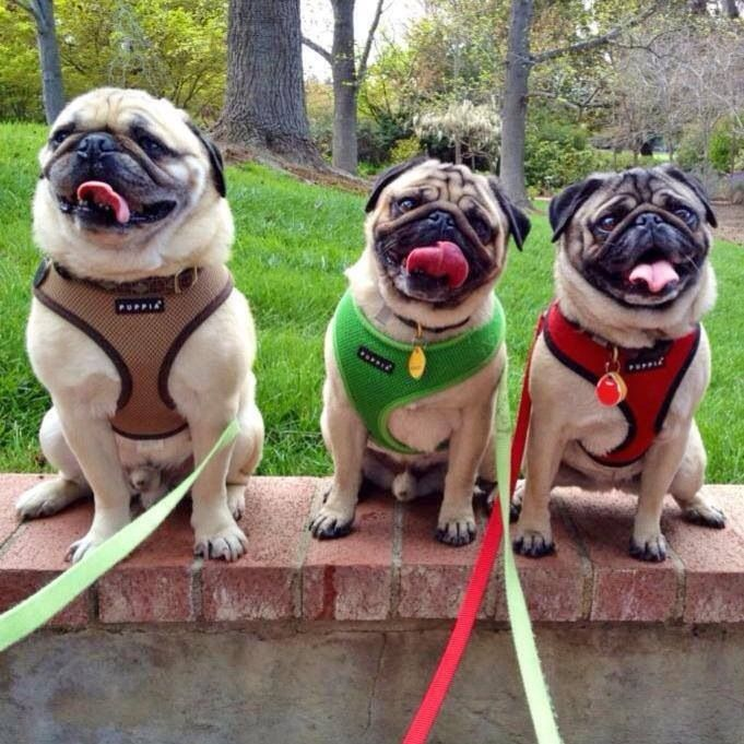 These Pugs Are Super Cute Love The Harnesses These Are The