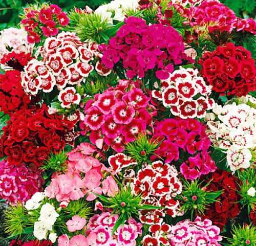 200 Dianthus Seeds Sweet William Flower 16 Kinds Mixed Packed Color Easy To Grow High Germination Diy Sweet William Flowers Dianthus Flowers Sweet William