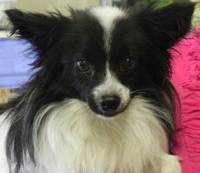 Adopt Sparky On Petfinder Papillon Dog Humane Society Mason City