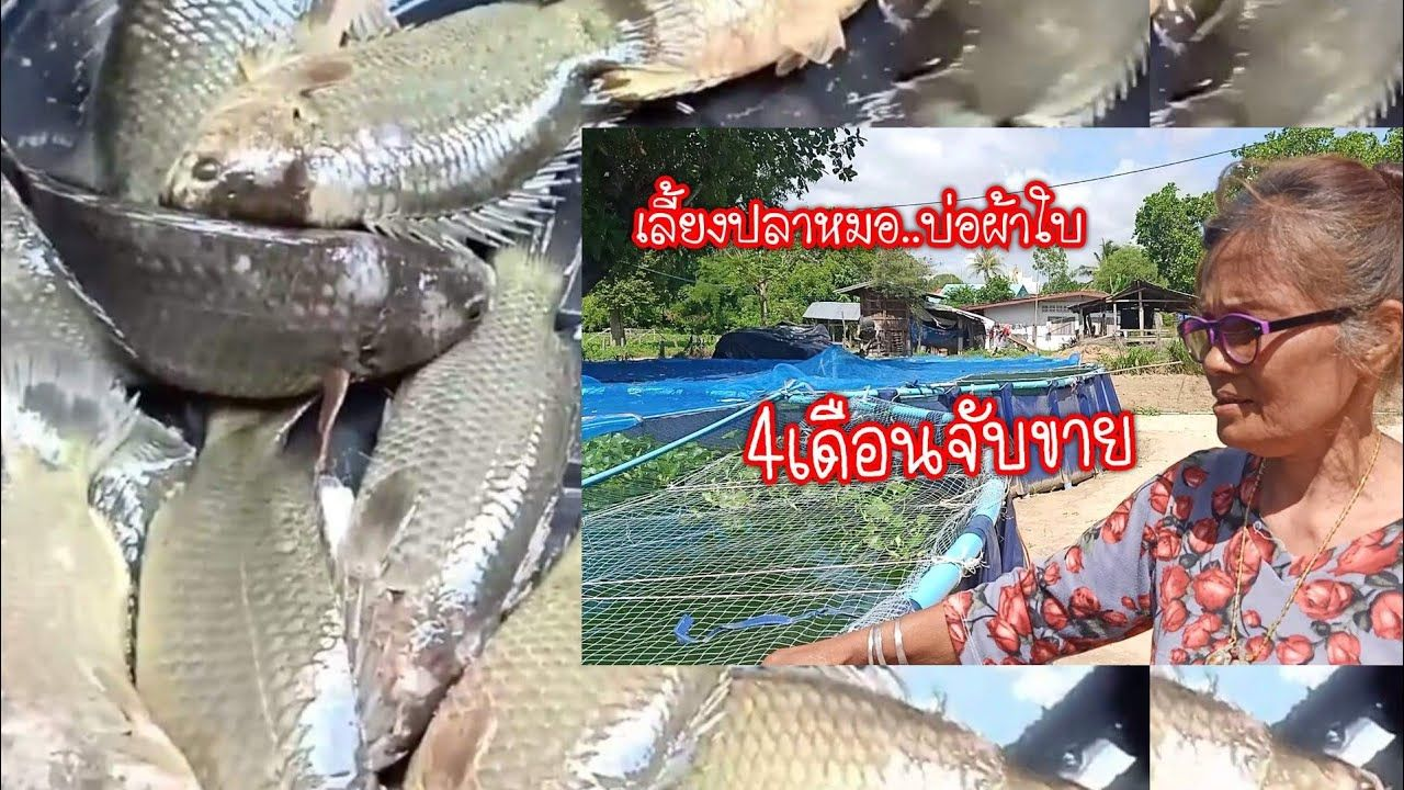 เล ยงปลาหมอ ในบ อผ าใบ ต นท น กำไรมากน อยแค ไหน Youtube กบ