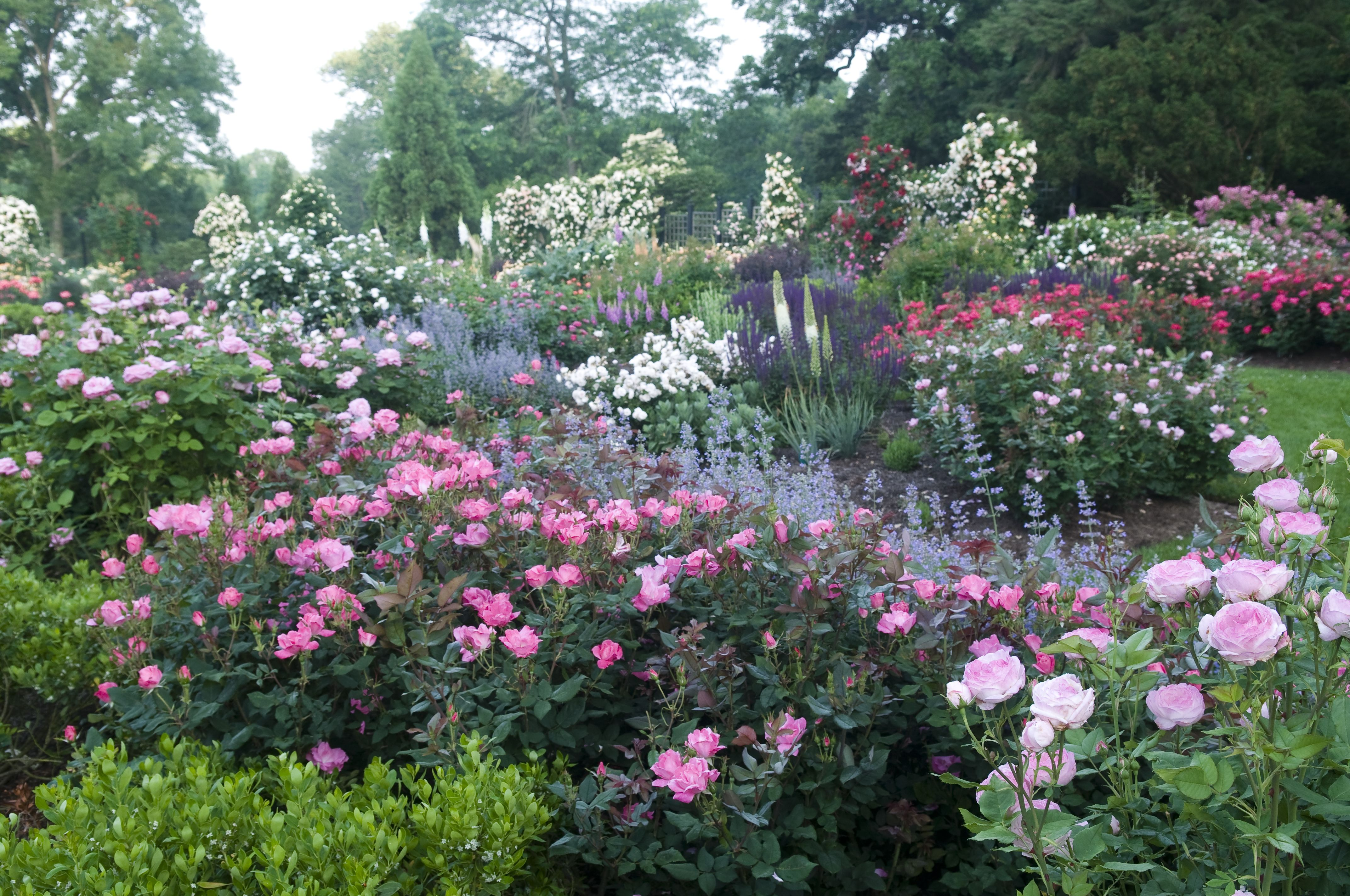 Gardening Advice For The Beginner To The Expert Rose Garden Landscape Knockout Roses Landscaping With Roses