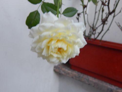 rosa rococo : blanca | ahorayya2