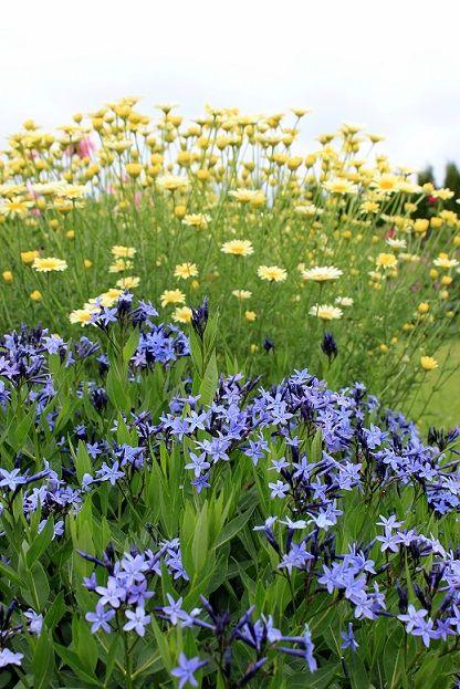 Amsonija Blue Ice Garden Inspiration Perennial Garden Plants