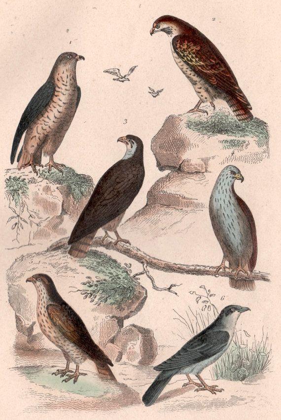 1835 Buffon Antique Print Birds Engraving Birds Illustration Bird Of Prey Print Falcon Hobby Kestrel Merlin Falco Vintage Art Print Vintage Art Prints Bird Illustration Antique Prints