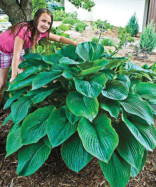 Michigan Bulb Company Live Empress Wu Giant Hosta Plant Green