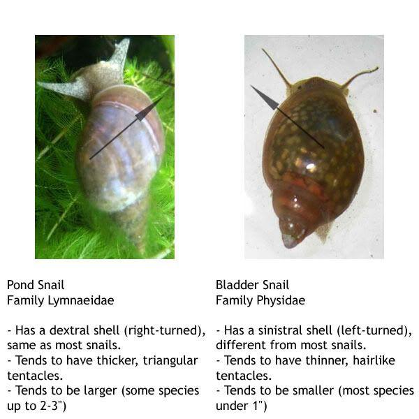 The True Pond Snail Lymnaediae Aka Donkey Ear Snail Vs The Bladder Snail Phyla Acuta Often Misrepresented As The Pond Pond Snails Aquarium Snails Snail