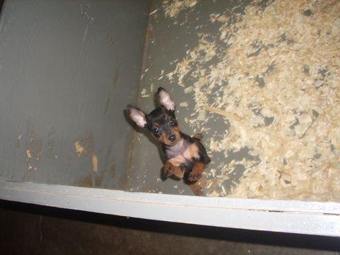 Miniature Pinscher Puppy For Sale In Carrollton Ga Adn 53519 On