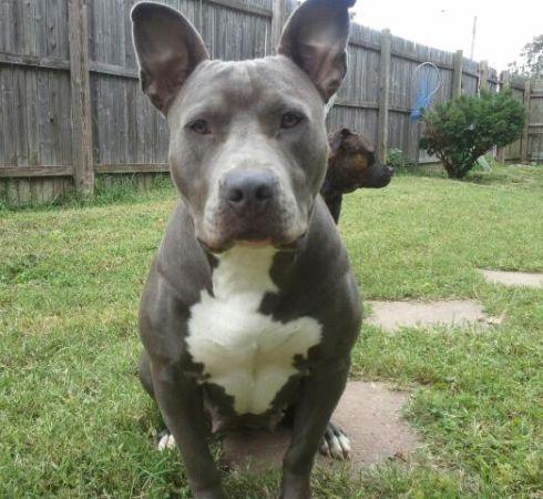 Reward Stolen Dog Prada Female Blue Pitbull Richmond Va