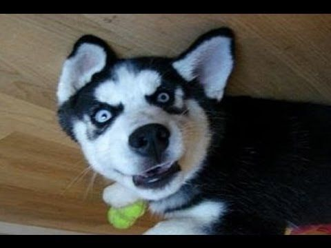 Funny Dog Siberian Husky Talking Because Its Adopted Youtube