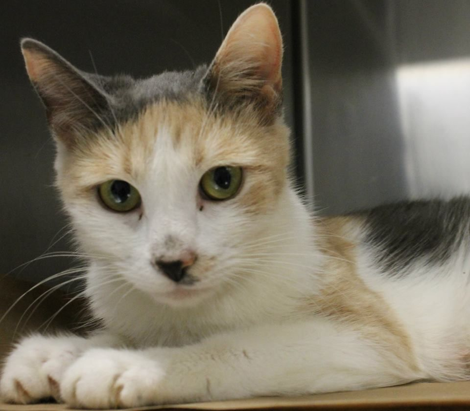 Intake 4 9 Available 4 15 NAME Brittany ANIMAL ID