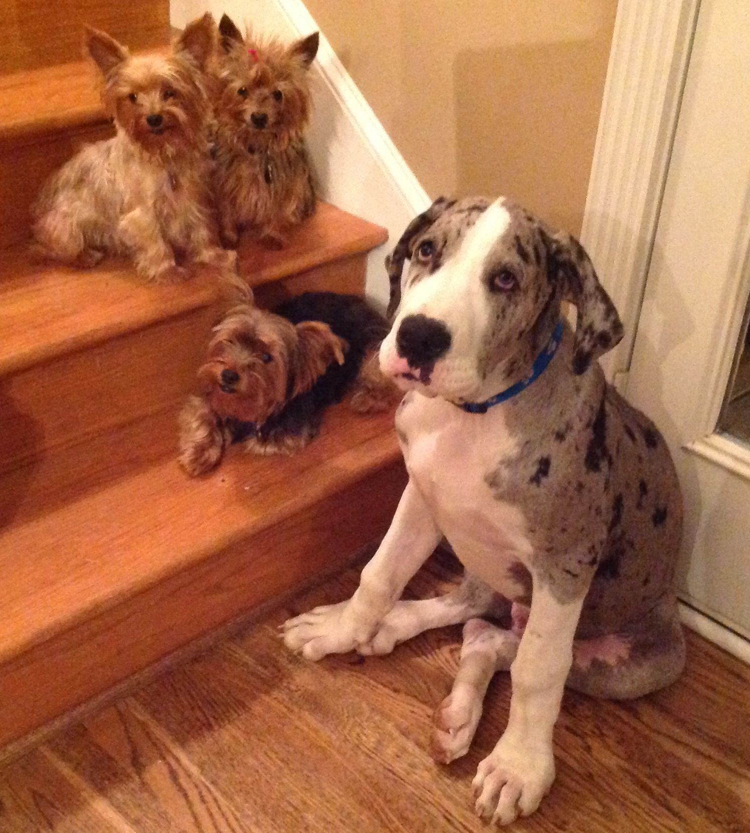 The Yorkies With Their Baby Brother Aden Great Dane Con Imagenes