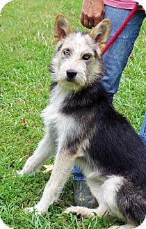 Standard Schnauzer Australian Shepherd Mix Google Search