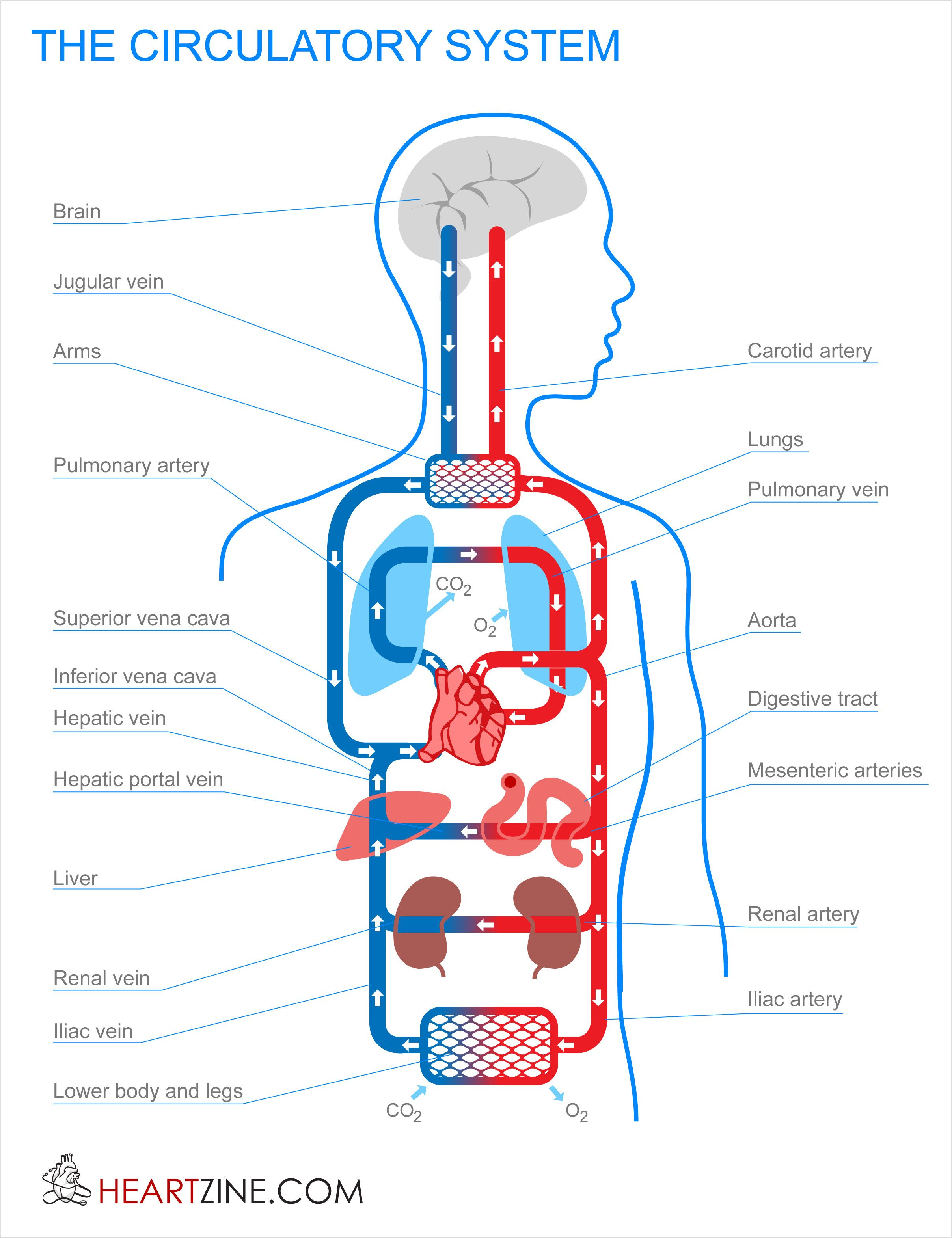 small resolution of blood circulation system in human body circulatory system