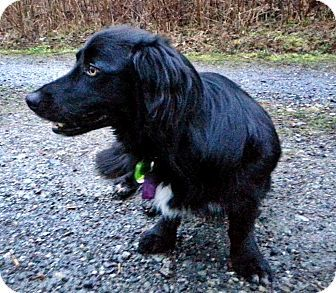 Surrey Bc Dachshund Border Collie Mix Meet Tipper A Dog For