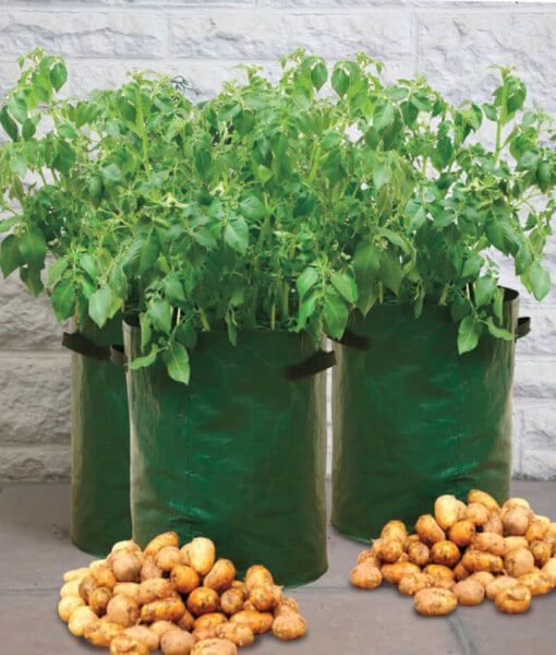 Potatoes: How to plant them everywhere