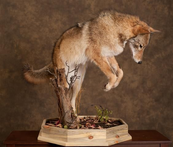 Coyote Taxidermist Taxidermy Decor Taxidermy Display Coyote Mounts