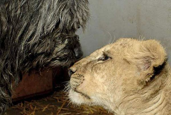 Bogi the Puli has taken on the role of foster parent for Zimba,a lion cub separated from his mother