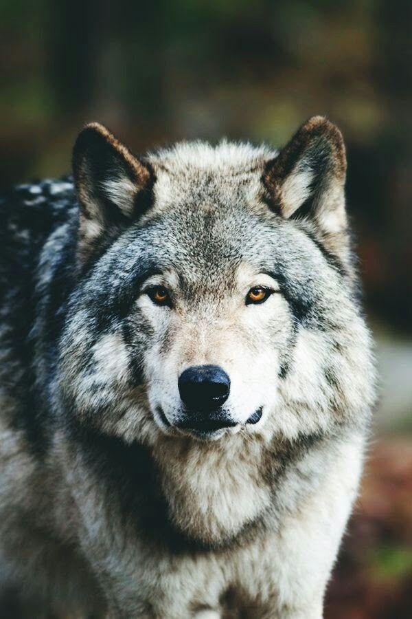 преподносят дар фото злого волка на аву данным издания