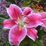 Types of Wedding Flowers | Bride & Blossom-pink stargazer