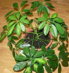 scheflera plantas de interior plantas interior Pinterest