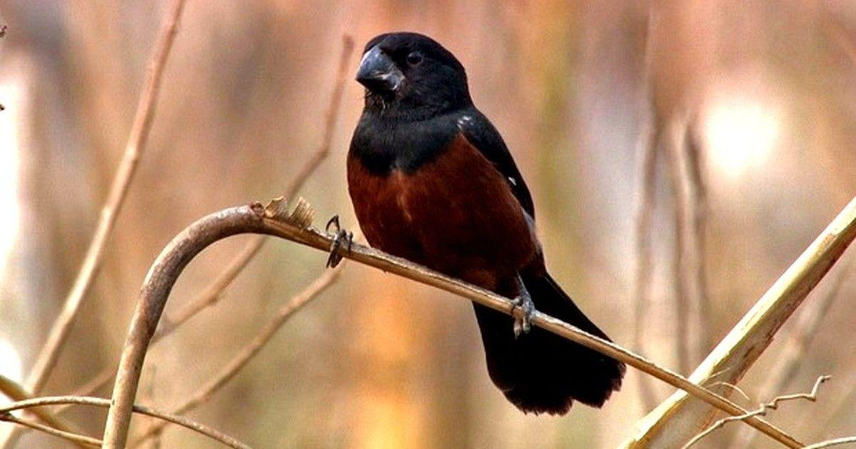 Curió é passarinho que chama a atenção pelo belo canto