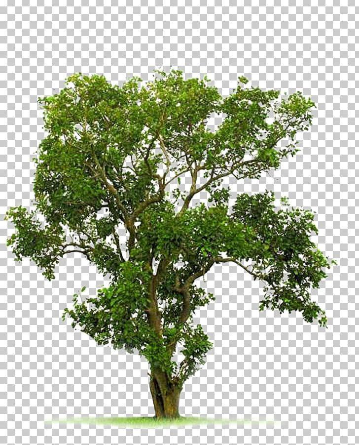 Tree Juglans Png Autumn Tree Bodhi Branch Christmas Tree Evergreen Autumn Trees Tree Bodhi