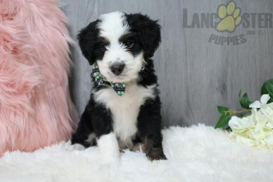 Pin On Mini Bernedoodle Puppies