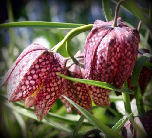 Fritillaria meleagris (checkered lily) - our 2 small plants are blooming beautifully in southern WI!!