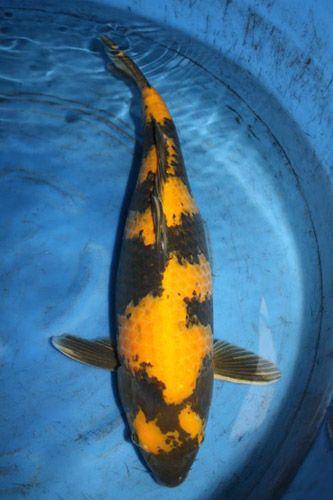 Ki utsuri black koi with yellow ki markings utsuri for What does carp mean