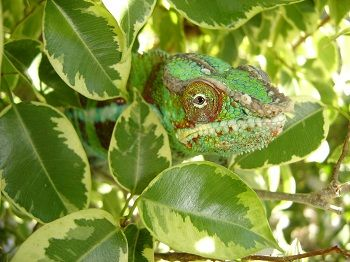 Chameleons Animals With Skin That Have Special Qualities Chameleon Pet Reptile Care Veiled Chameleon