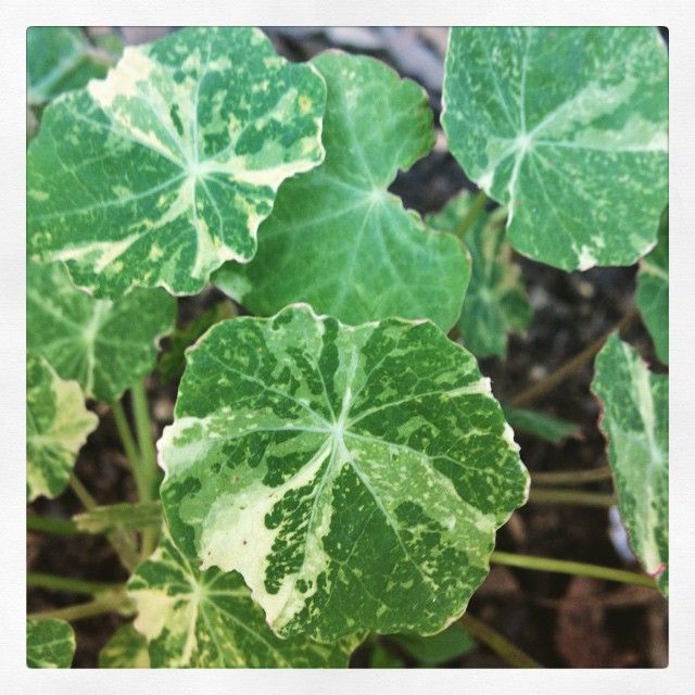 Beautiful variegated nasturtium seedling #mygarden #nasturtium #gardening #botanicalinterests #plants