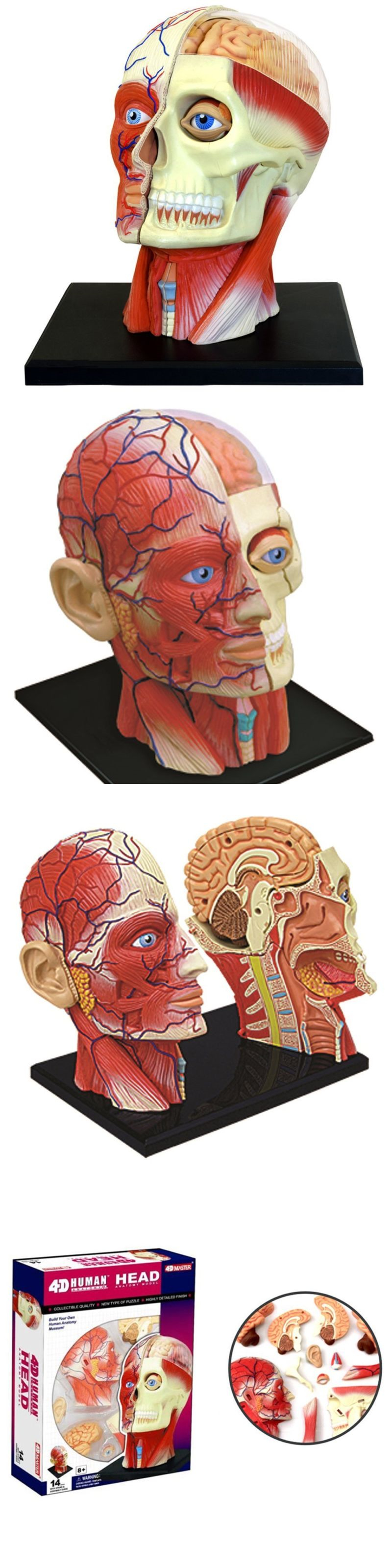 Other Science and Nature Toys 11737: Human Head Skull Brain Anatomy ...