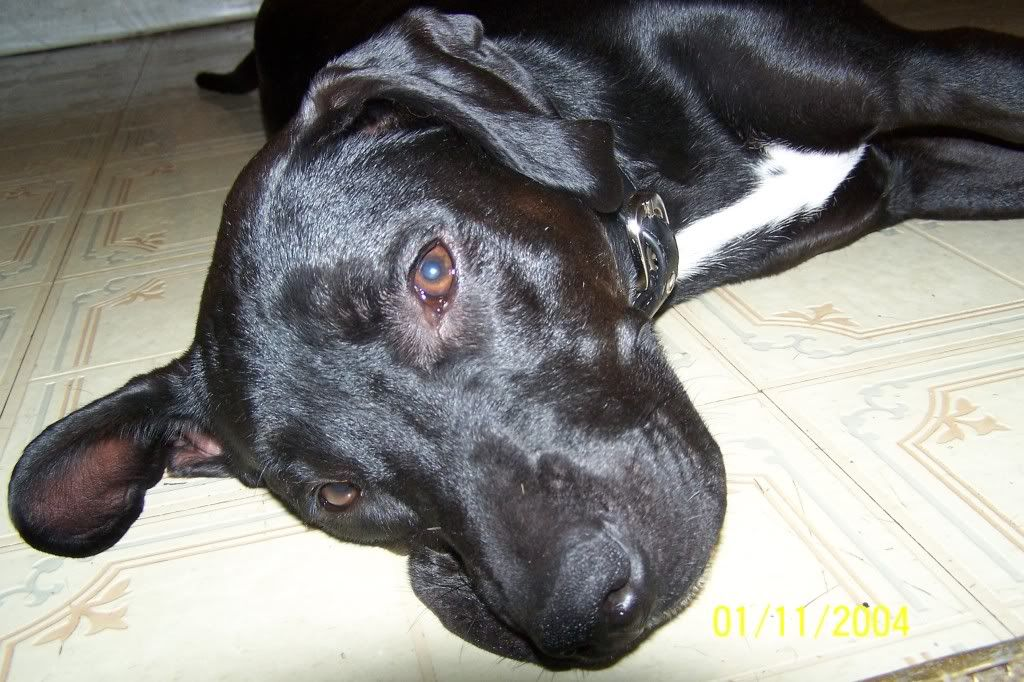 pitbull lab mix images | Pit Bull vs car.. shes not as bad ...