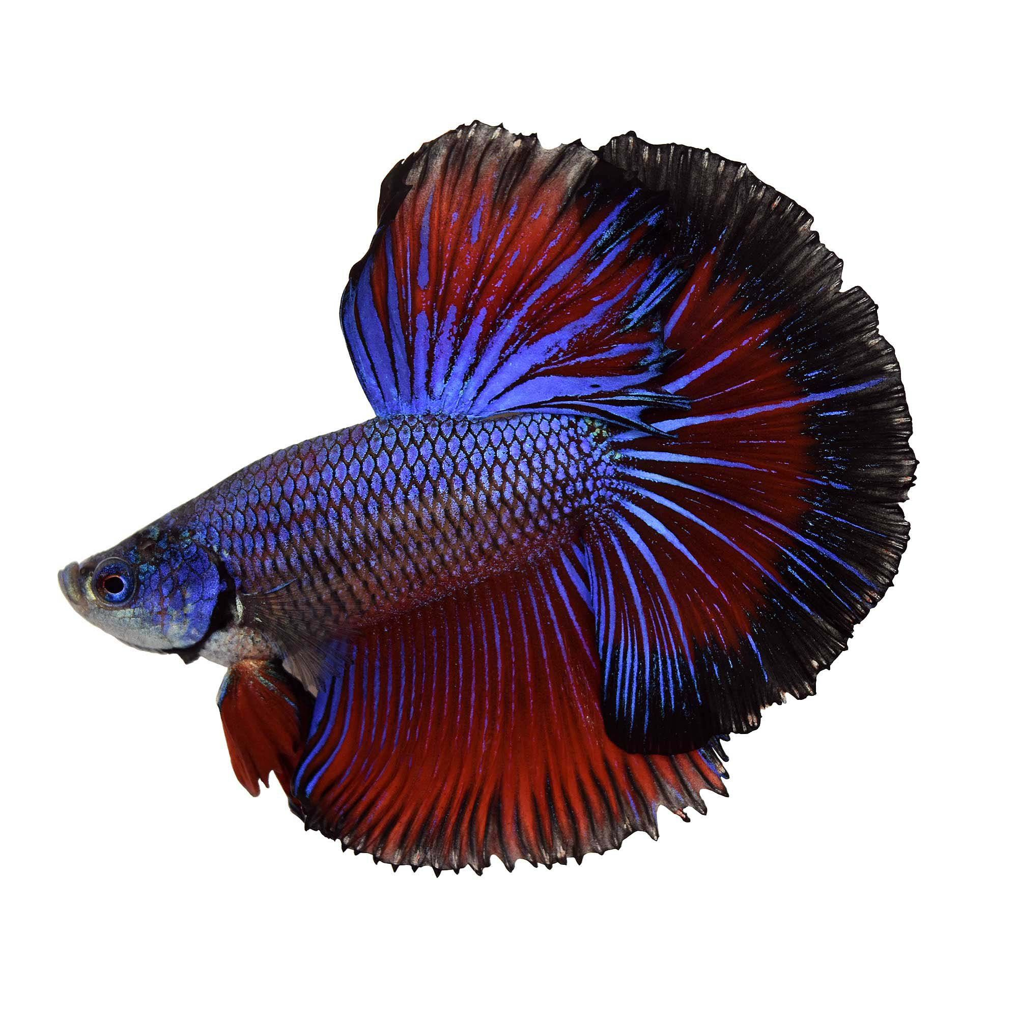 Male Halfmoon Betta Fish Siamese Fighting Fish Extra Large Petco Halfmoon Betta Siamese Fighting Fish Betta Fish