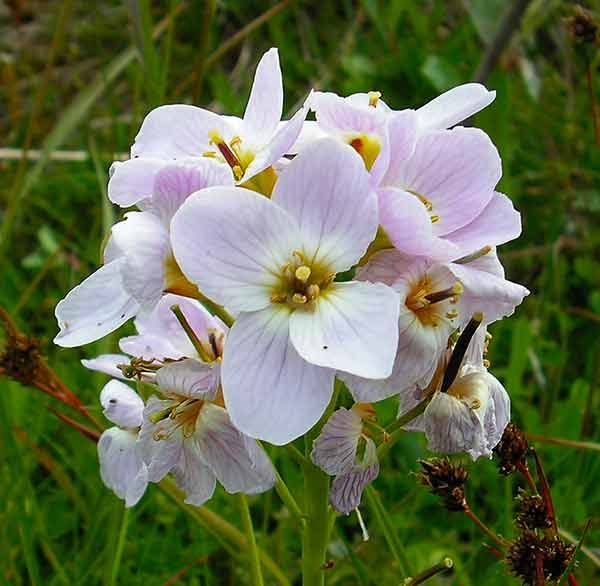 Cuckoo Flower Essence