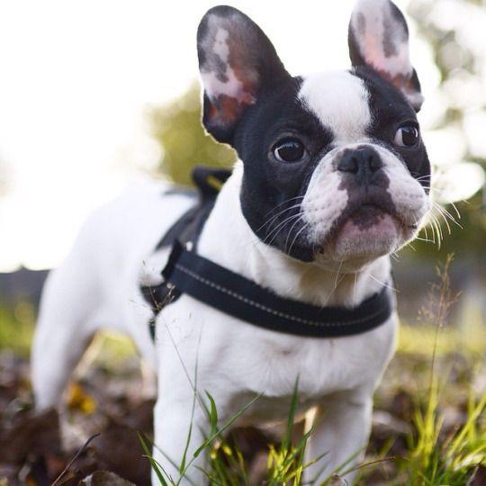 French Bulldog Puppy Via Batpig Me Tumble It Buldog Franse