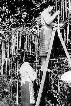 Image result for spaghetti plant bbc